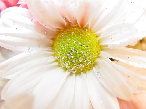 daisy sparkles