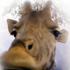 Girafro photo by [ CK ]