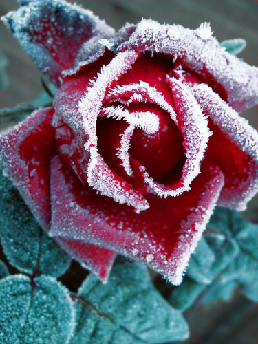Rose Red ; Frost White