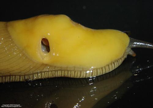 Slug pneumostome