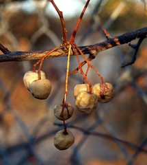 dried_berries1