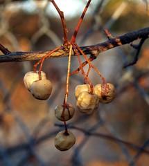 dried_berries1