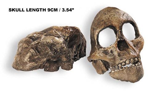 Tuang Child, Australopithecus africanus