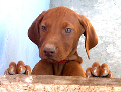 DOGS VIZSLA photo by rohaca