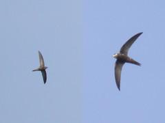 Swift & Pallid Swift, Ria Formosa (Portugal), 27-Apr-06
