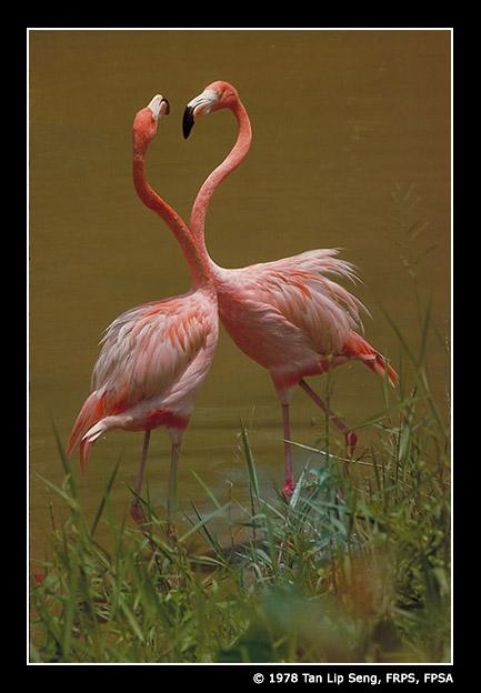 Squabbling_Flamingoes