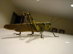 Grasshopper - 7