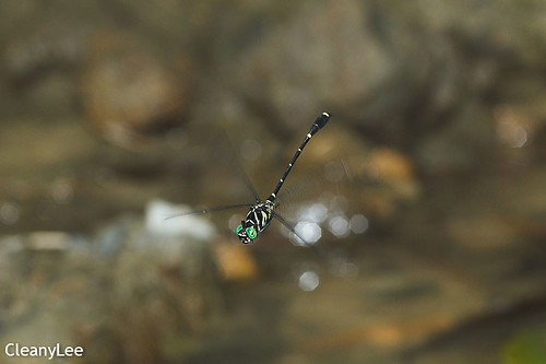 13033蟲莖春蜓 Burmagomphus vermicularis