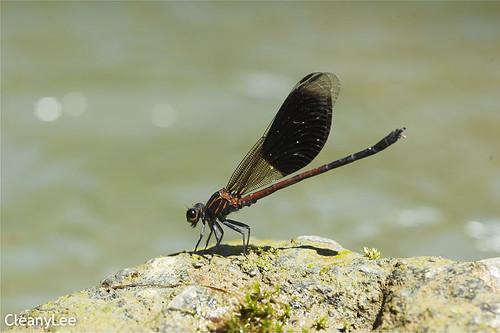 13040短腹幽蟌 Euphaea formosa