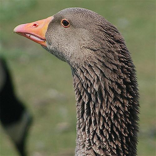 grupp goose