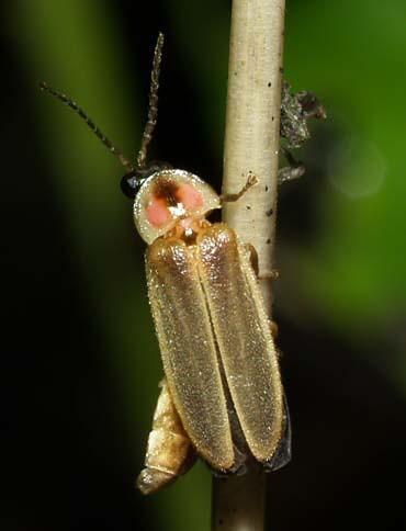 firefly1