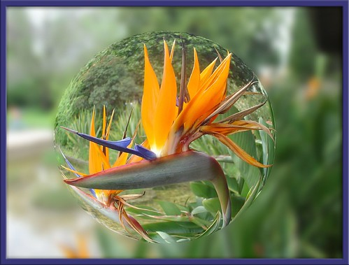 Through My Looking Glass: Bird of Paradise