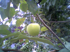 Our Apple Tree