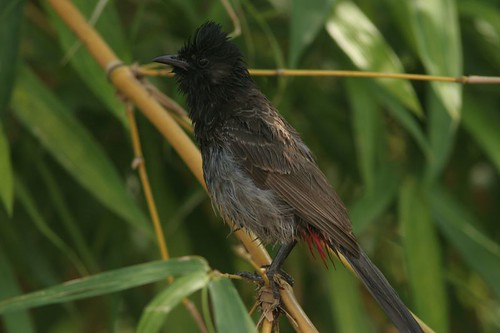 IMG_0369 Red vented Bulbul