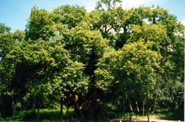 0-Robin's Oak