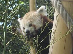 Petit panda,