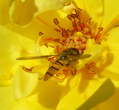 Hoverfly and rose