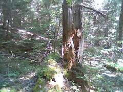 broken tree, plus tree covered in moss