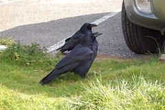 raven pair2
