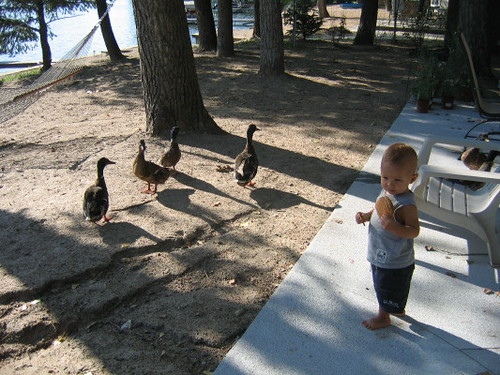 angus_ducks_1