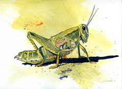 grasshopper photo by Don Gore (dgdraws)