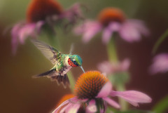 Ruby-throated Hummingbird photo by Zach Boumeester