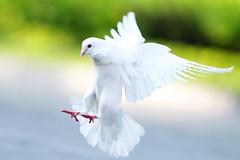 Pigeon photo by vikhoa