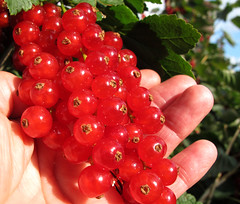 Ripe red currants in woman hand photo by Batikart