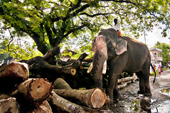 Jai Jumbo - Elephant at Work in India. photo by Anoop Negi