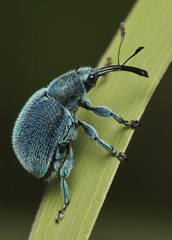 IMG_4775 weevil photo by Troup1