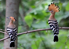 What you think about my hair? Mmmm,, Hoopoe (upupa epops) photo by Thai pix Wildlife photography,,