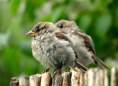 baby sparrow photo by Elahe Dastgheib