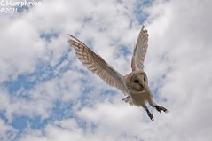 Lavenham Falconry: Barn Owl photo by --CWH--