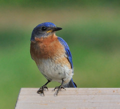 Wildlife at Langwater Farm:  Eastern Bluebird photo by GlennCantor (theskepticaloptimist)