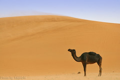 Blowing sand with lovely Camel - Explore Front Page photo by TARIQ-M