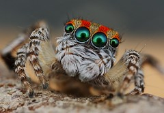 maratus volans 3 photo by FISHNROBO