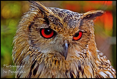 Bengal Eagle Owl photo by Dysartian