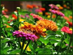 rainbow of zinnias photo by f l a m i n g o