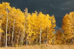 Brilliant Golden Aspens photo by Marc Shandro