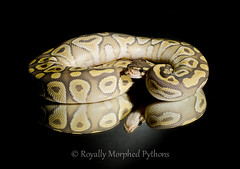 Ghost Mojave Royal Python photo by Royally Morphed Pythons