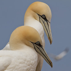 Northern Gannets (4 shots) photo by Phiddy1 (back on)