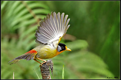 Silver Eared Mesia #8 photo by kengoh8888