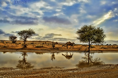 Reflection of Camel HDR - Explore Front Page photo by TARIQ-M