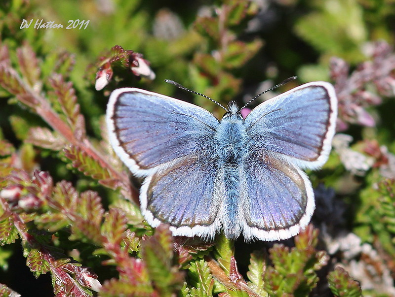 Silver-studded Blue,plebeius argus photo by claylaner,away