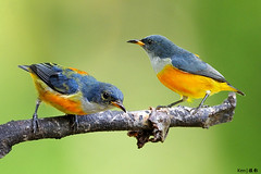 Orange Bellied Flowerpecker #15 photo by kengoh8888
