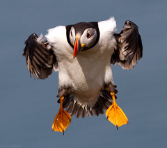 Puffin photo by Ian Gethings