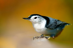 Nuthatch in Fall photo by Matt Tiegs