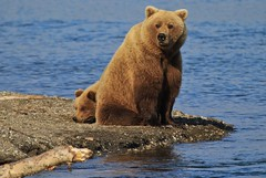 Alaska Brown Bear and Cub photo by toryjk