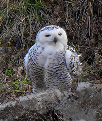Snowy Owl (Bubo scandiacus) - Merrill Creek Reservoir, New Jersey photo by JFPescatore