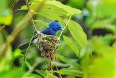 ~~ 森林裡的藍色精靈 ~~ photo by Fu-yi